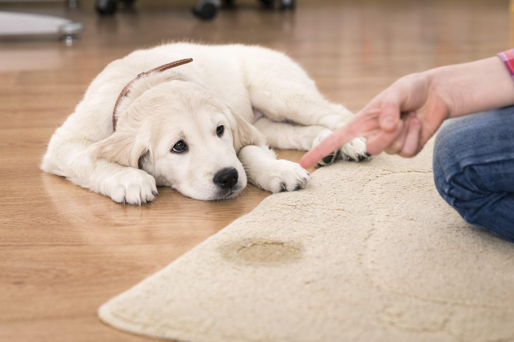 ¿Cómo eliminar el olor a orina de nuestra mascota?